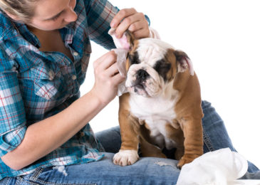 Dog Ear Infection , Causes , And 10 Home Remedies